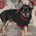 for sale #chihuahua #mister #pies #SzczenięDog