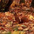 Cichutko na palcach, od drzewa do drzewa i ... pstryk :) #Kołobrzeg #park #wiewiórka #jesień