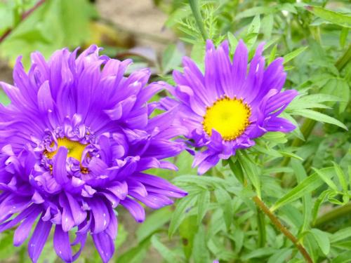 astry #kwiaty