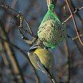 Sikorka Modra dokarmiana w Suwałkach; 19.I.2014 #dokarmianie #Modraszka #ptak #SikorkaModra