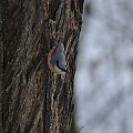 Kowalik #ptak #ptaki #kowalik #zima #las