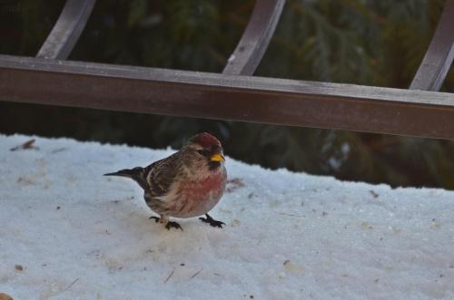 czeczotka #ptaki #czeczotka
