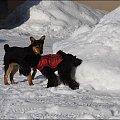 #zima #sznaucer #Zakopane #podróże