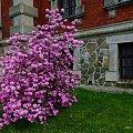 zakwitły azalie w przypałacowym parku w Pławniowicach #azale #wiosna #kwiaty #Pławniowice #park