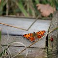 taka malutka wiosna w lesie ... **** ulub. michal98 **** #las #owady #motyle #chrząszcze #biedronki #koniki