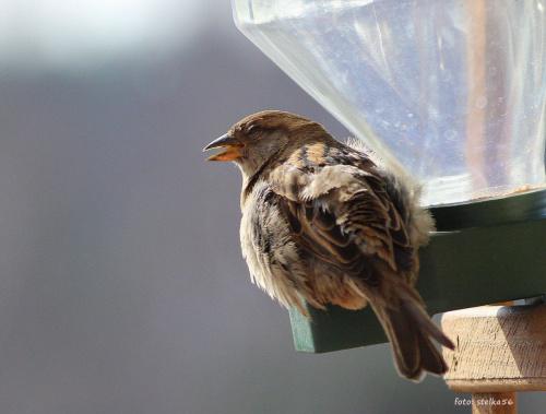 w karmniku pusto, a one wciąż przylatują ... :) **** ulub. gonzki **** #ptaki #wróble #NaBalkonie #wiosna
