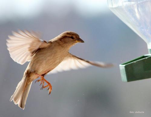 w karmniku pusto, a one wciąż przylatują ... :) **** ulub. gonzki; stan48; giga-grzmot; tabaz1 **** #ptaki #wróble #NaBalkonie #wiosna