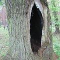 Okazałe dęby w lesie #dąb #dęby #dziupla