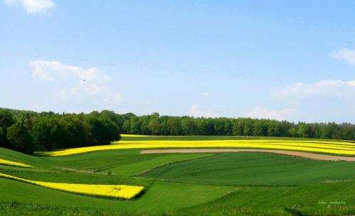 w paseczki ... **** ulub. gonzki **** #pola #rzepak #wiosna