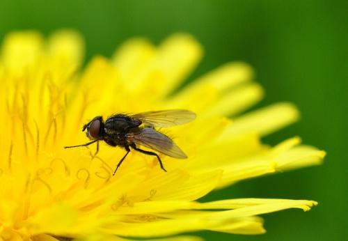 Z muchą w roli głównej - unosząc się na żółtym...