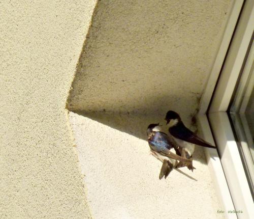 chyba szukały sobie miejsca na gniazdo (w bloku u sąsiada na 2 piętrze); na nastepny dzień już wisiał kawałek folii i ptice zrezygnowały ... #dymówki #jaskółki #ptaki #wiosna