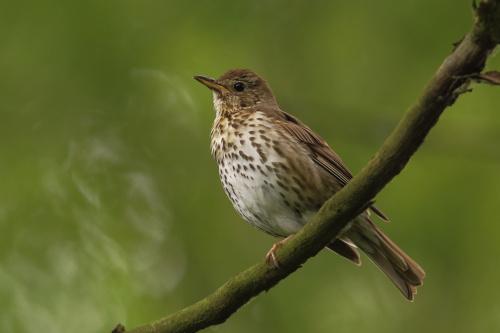 drozd śpiewak #ptaki #drozd