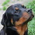 Cobra #adopcja #fundacja #hodowla #pies #psy #rottka #rottweiler