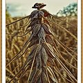 panna pszeniczna #rosliny