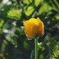 natura #KwiatyPolne #macro #natura #alicjaszrednicka