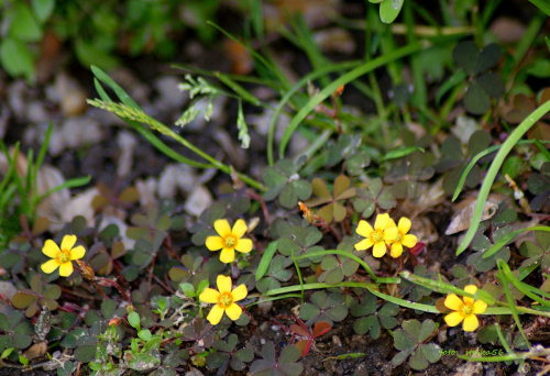 ... drobnica ... :) **** ulub. gonzki **** #kwiaty #łąka #ogród #przyroda #wiosna