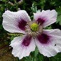 troszkę popadało :) #deszcz #krople #kwiaty #logród #przyroda