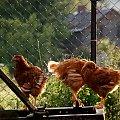 z wiejskiego podwórka ... #Chomiąża #podwórko #ptaki #wieś