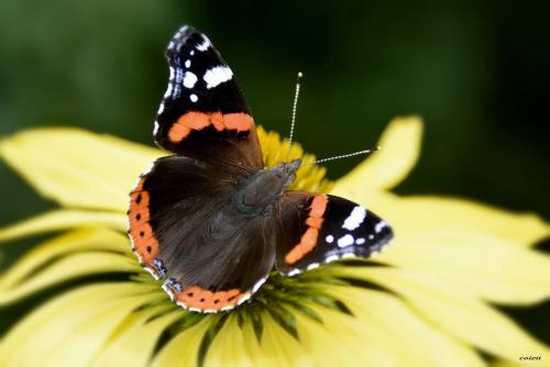 Rusałka admirał #lato #motyle #owady #przyroda