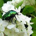 goście w ogródku ... :) #chrząszcze #ogród #owady #żuczki #KruszczycaZłotawka