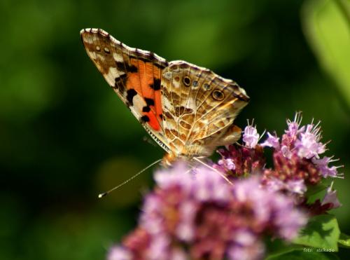 goście w ogródku ... :) **** ulub. aiska **** #motyle #ogród #owady #lato
