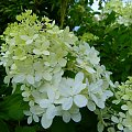 w moim ogrodzie ... #hortensje #krzewy #kwiaty #lato #ogód