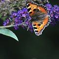 Motyl na Lilaku #macro #motyle #natura