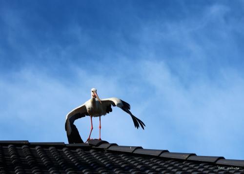sarbinowskie boćki ... dobrego dnia :) #bociany #lato #ptaki #Sarbinowo #wakacje