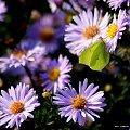 fruwające w ogródku ... #kwiaty #motyle #ogród #owady #pszczoły