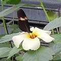 Motyle w Ogrodzie Botanicznym Amsterdam 2014 #motyle