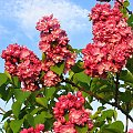 Lilak, Maj 2008 #Kwiaty #Bez #Liliak