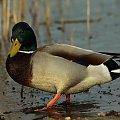 krzyzówka #kaczki #łabedzie #ptaki