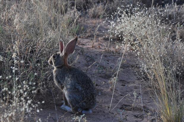 Dziki królik w srebrzystym poranku :). Canyonlands N.P., Utah, USA
