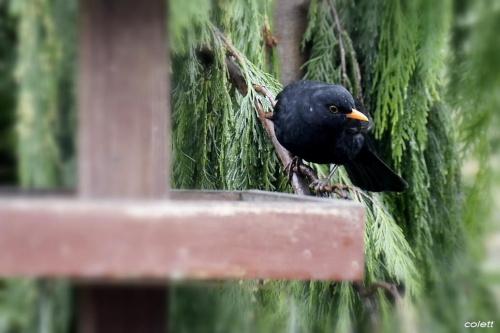 Pan Kos #wiosna #ptaki #ogród