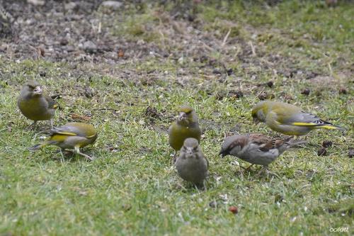 Dzwońce i wróbel #wiosna #ptaki #ogród
