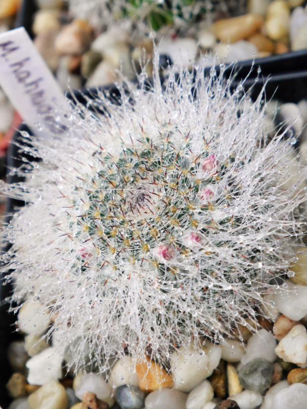 Mammillaria hahniana #kaktusy #rosa