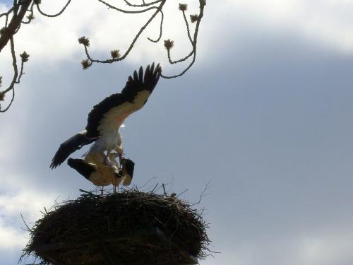 bocianie figle :) #bociany #Chomiąża #ptaki #wieś #wiosna