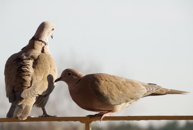 wiosenne zaloty ... :) #cukrówki #gołębie #NaBalkonie #ptaki #wiosna