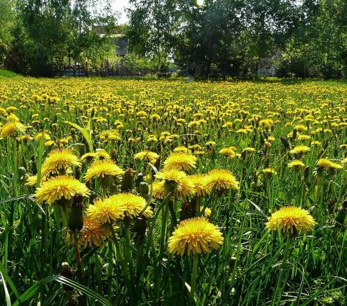 moja łąka wiosennie #wiosna #mlecze