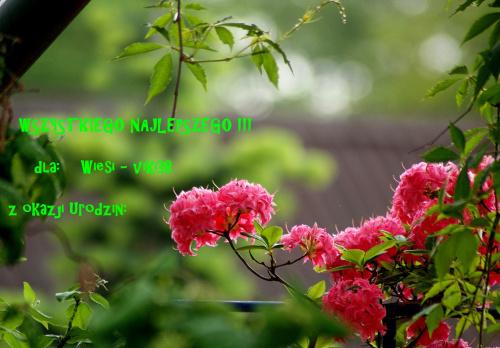 Wiesiu, w Twoim dniu życzę Ci samych pięknych, mądrych chwil, dużo słońca w Twoim oknie, niech Twe serce na deszczu nie zmoknie, cudownych przyjaciół i wspaniałych dni ... :) **** ulub. vika38 ****