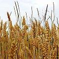 ... pszenica też dojrzewa ... #lato #pola #pszenica #zboże #żniwa