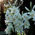 Stary,zanikający gatunek pięknie pachnących lilii św. Antoniego #lilie