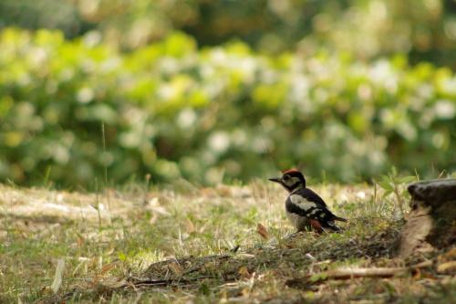 w temacie dzięciołów: http://bezuzyteczna.pl/fotograf-uchwycil-ucieczke-zielonego-203201 #ptaki #dzięcioł
