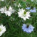 Czarnuszka siewna (leczy wszystko z wyjątkiem śmierci) #kwiatki