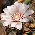 Gymnocalycium hyptiacanthum 'odoratum' #kaktusy
