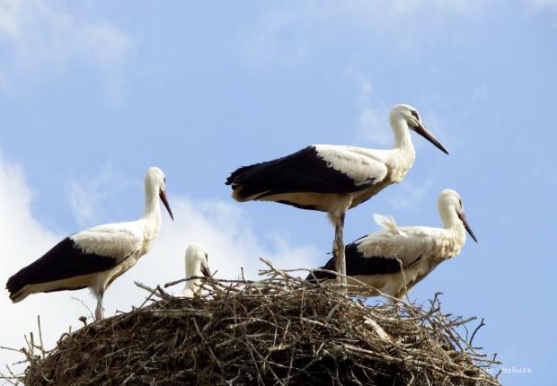 czekają na drugą dostawę jedzonka :) #bociany #Chomiąża #lato #ptaki