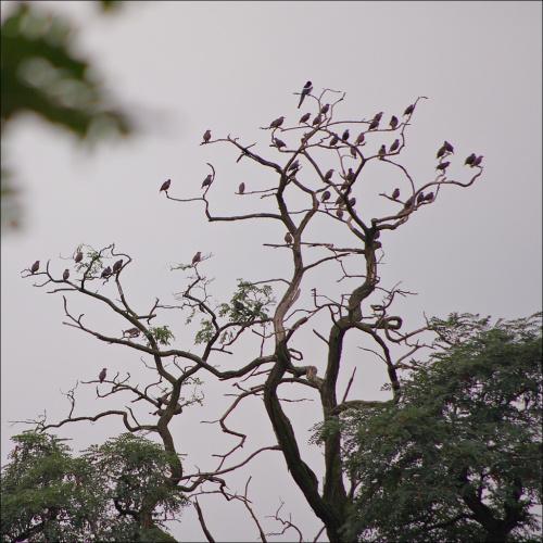szpaczy sejmik- sroka marszałkiem :) #ptaki #szpaki