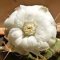 Gymnocalycium anisitsii Strigl #kaktusy