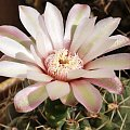 Gymnocalycium baldianum #kaktusy
