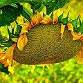 #ogrod #słoneczniki #kwiaty